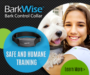 Bark Collar Labrador